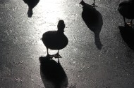 Shadow ducks on ice.
