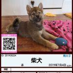 201900224 柴犬