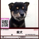 201900264 柴犬