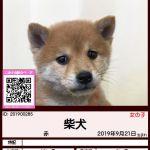 201900285 柴犬