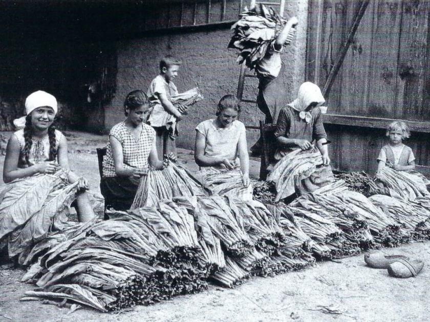 hugenotten-museum-friedrichstal-tabakernte