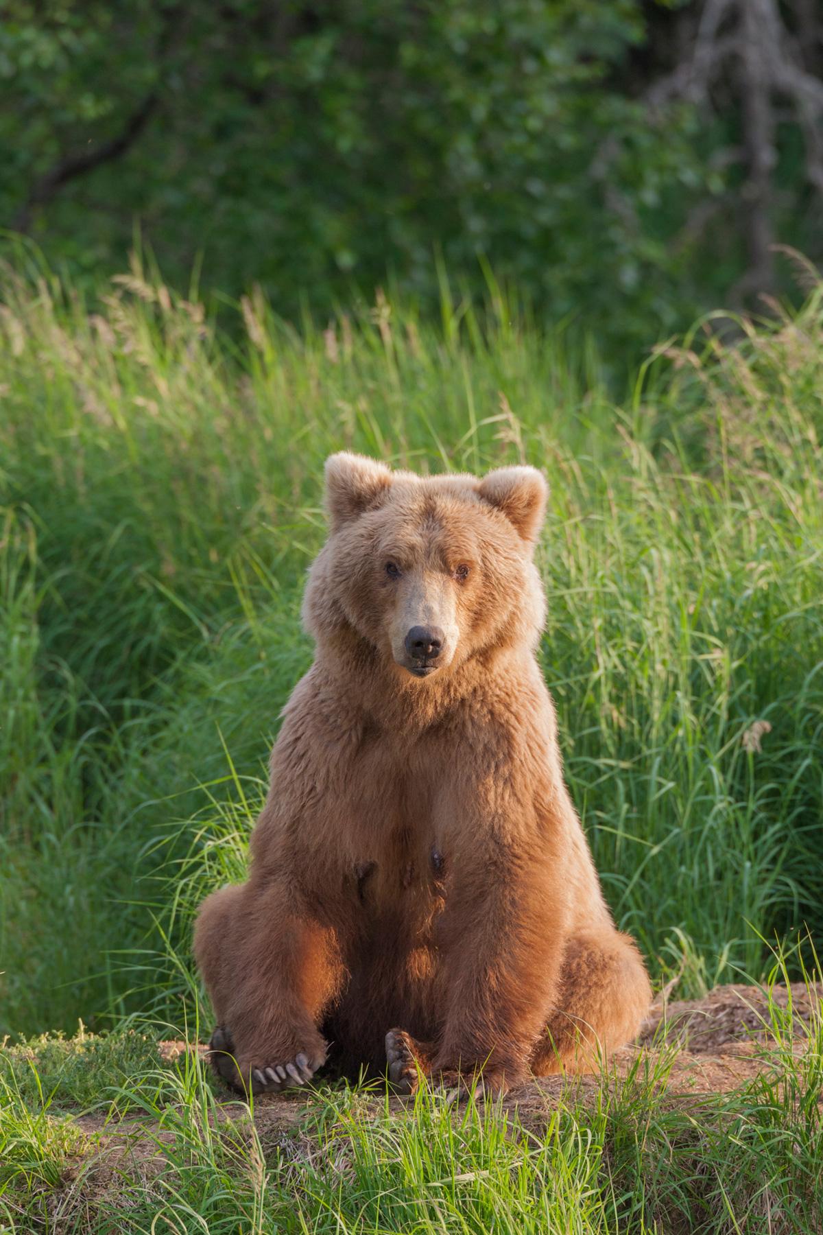 Brown Bear Photography By Hugh Rose