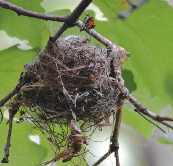 Acadian Flycatcher Nestlngs