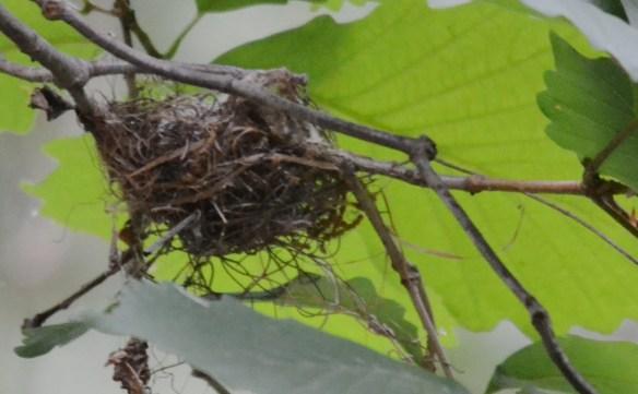 Acadian Flycatcher Nest