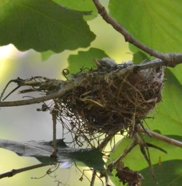 Acadian Flycatcher Chick