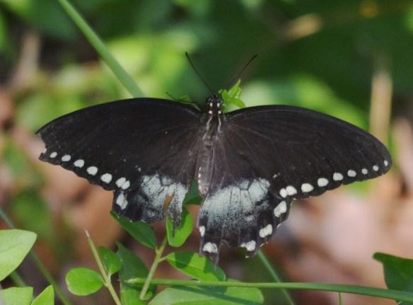 Balck Swallowtail