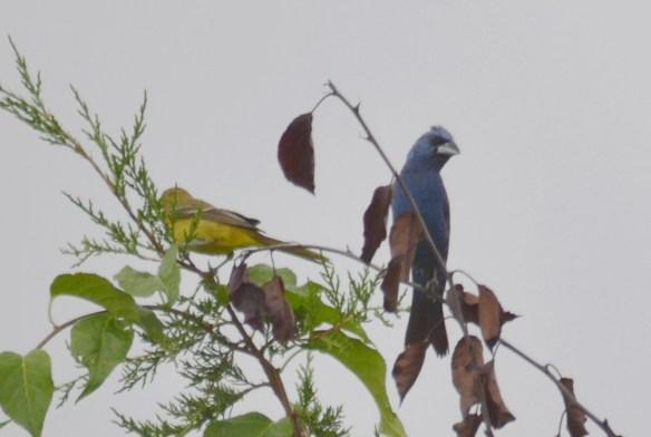 Blue Grosbeak and Orchard Oriole