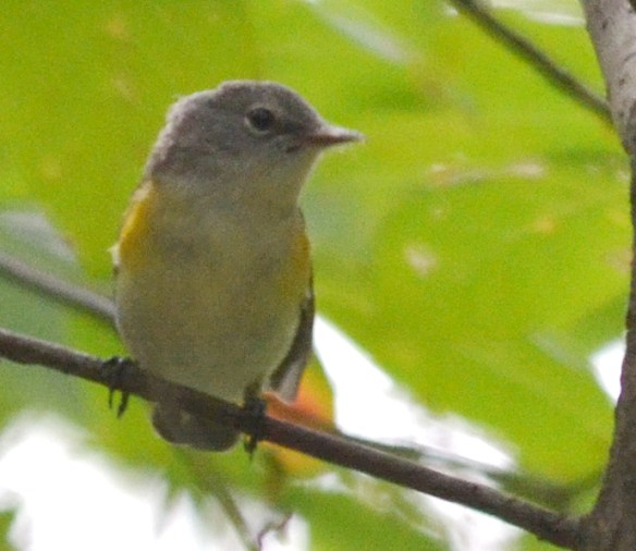 Unknown Warbler