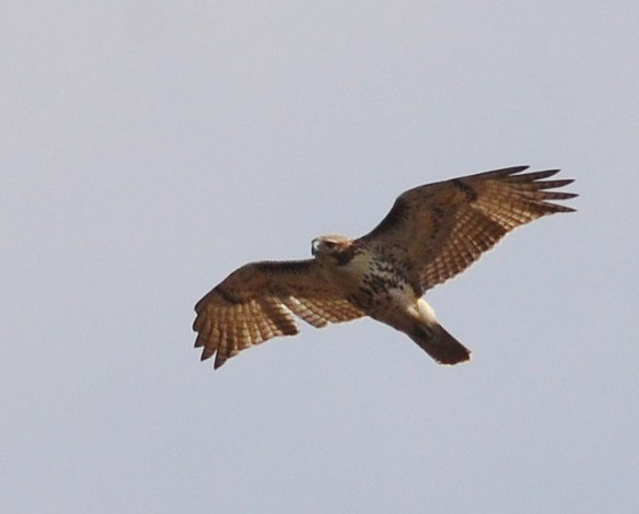 Red Tailed Hawk 55