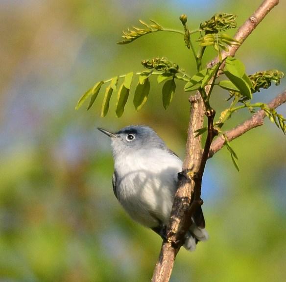 Blue Gray Gnatcatcher 34