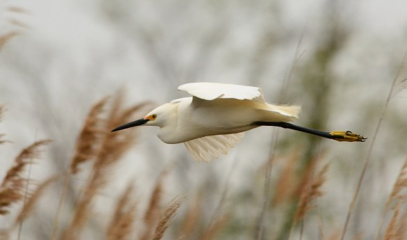 This Snowy Egret probably spent the Winter in Central America.