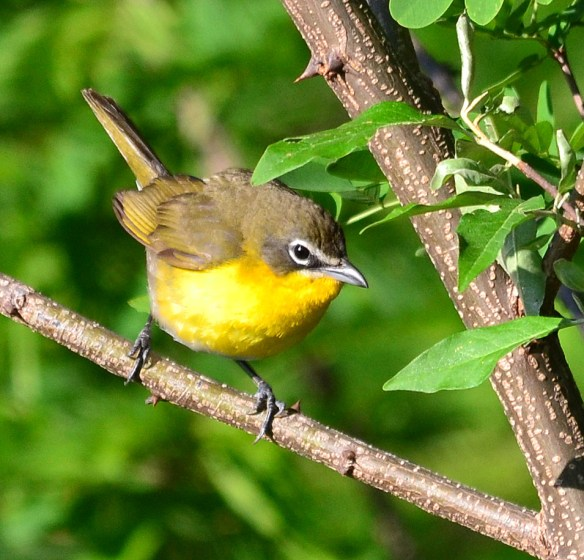 Yellow Breasted Chat
