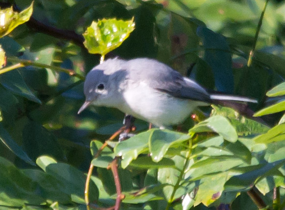 Blue Gray Gnatcatcher
