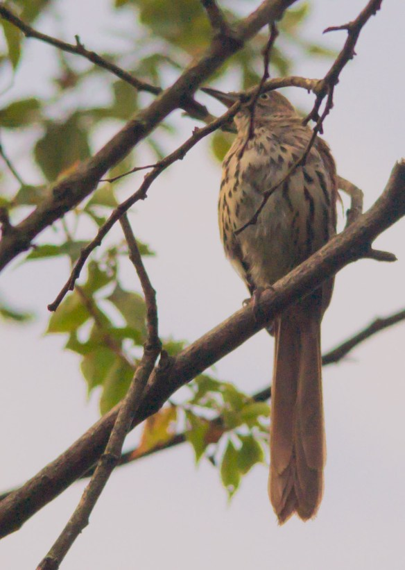 Brown Thrasher 37