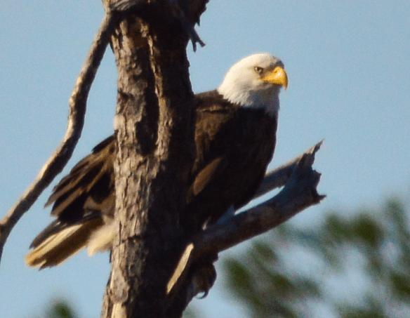 Bald Eagle 190