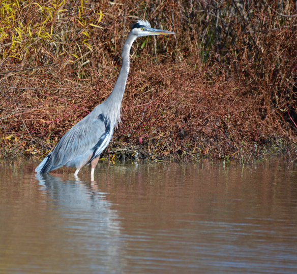Great Blue Heron 144
