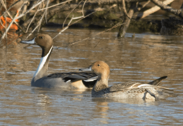 Northern Pintail 18