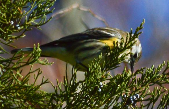 Yellow  Rumped Warbler 128