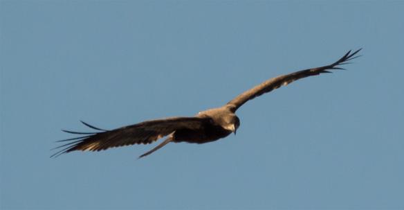 Bald Eagle 229