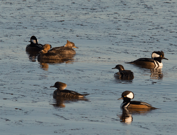 Hooded Merganser 88
