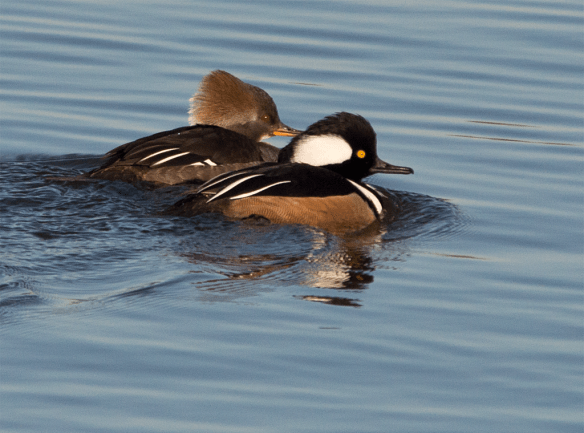 Hooded Merganser 103