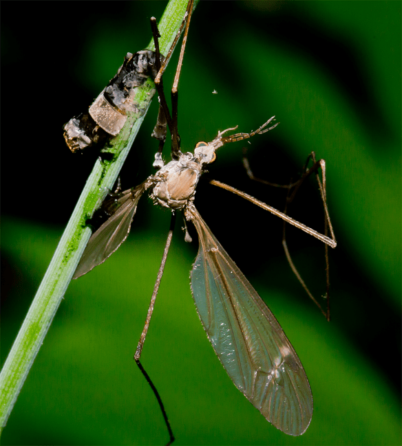 Crane Fly 2