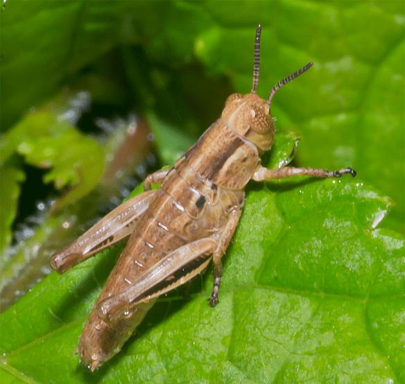 Grasshopper 20