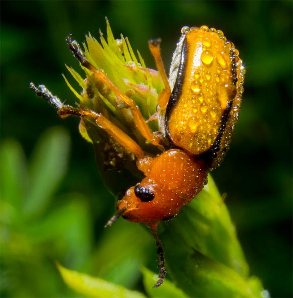 Beetle 19