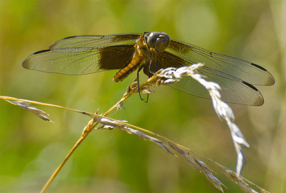 Dragonfly 90