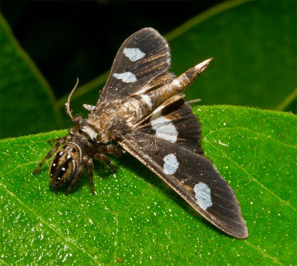 Moth 45