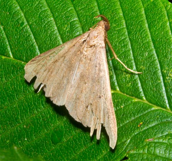Moth 52
