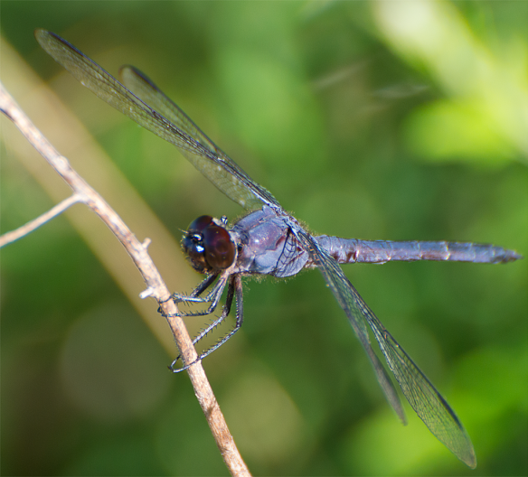 Dragonfly 133
