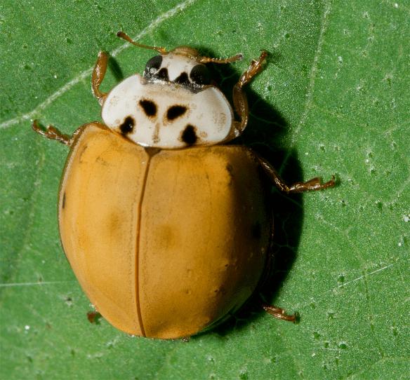 Ladybug 34