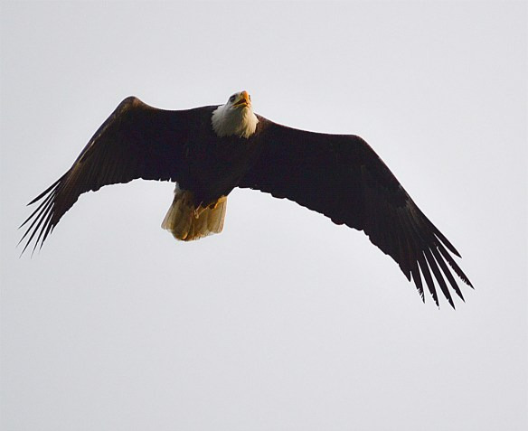 Bald Eagle 142