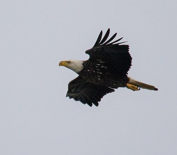 Bald Eagle 383