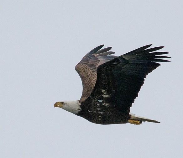 Bald Eagle 384