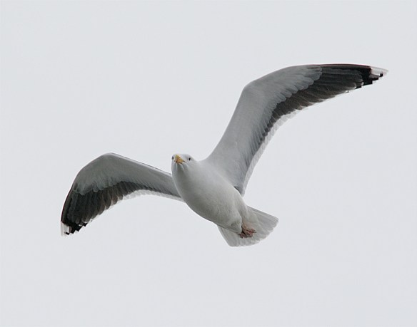 Black Backed Seagull 25