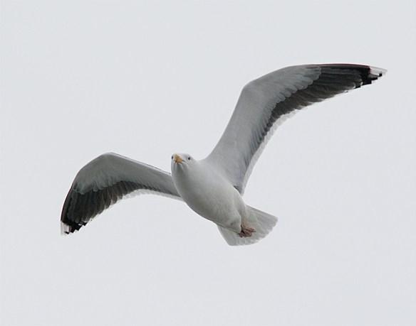 Black Backed Seagull 25