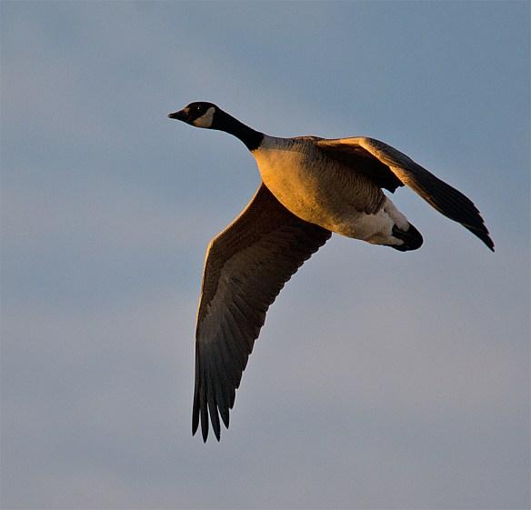 Canada Goose 100