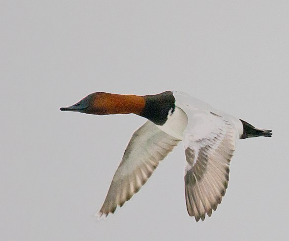 Canvasback 108