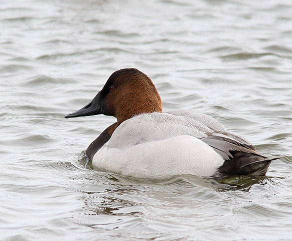 Canvasback 116