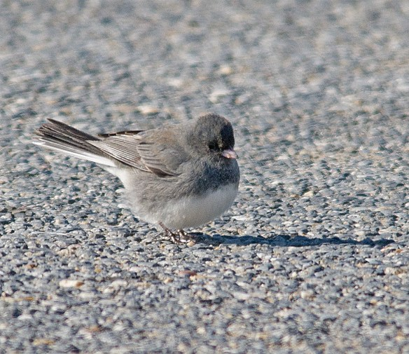 Dark Eyed Junco 17