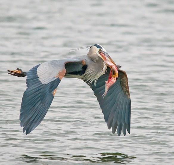 Great Blue Heron 257