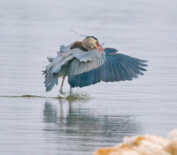 Great Blue Heron 262
