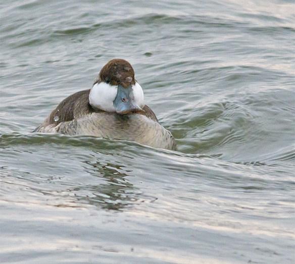 Ruddy Duck 83