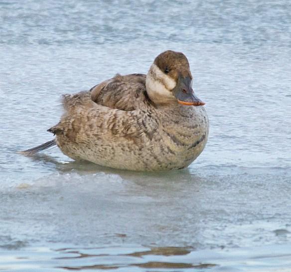 Ruddy Duck 96