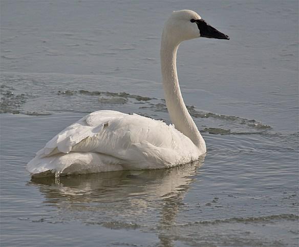 Tundra Swan 100