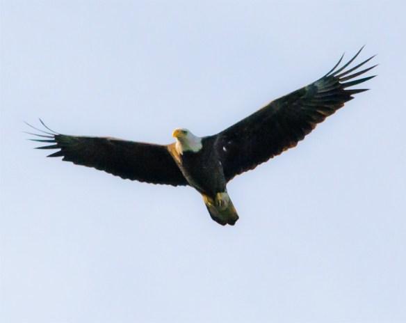 Bald Eagle 402