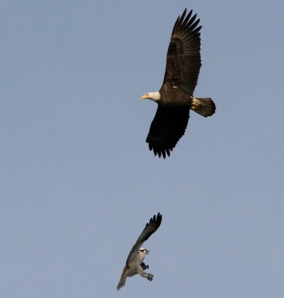 Bald Eagle 406