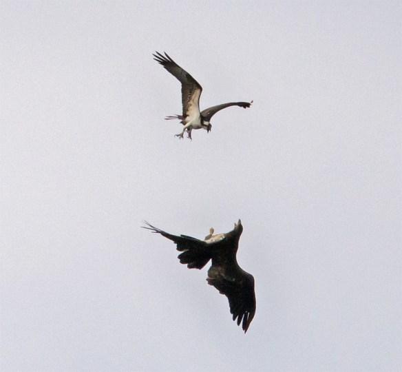 Bald Eagle 407